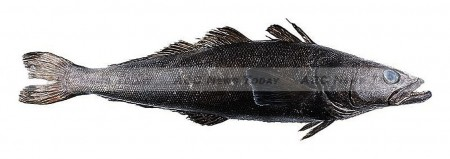 Patagonian toothfish, sold in the USA as Chilean Seabass, can grow up to 120kg and fetch several thousand dollars per fish