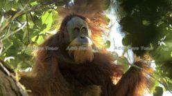 Indonesia power project threatens Sumatra's Tapanuli orangutans survival (video)