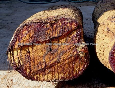 Blood-red sap oozes from the butt of a Siamese rosewood log freshly harvested in Laos