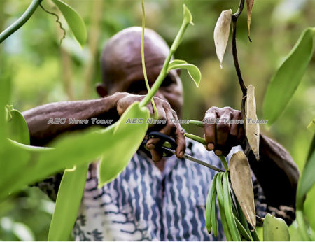Agustinus Daka says growing vanilla beans is a delicate procedure and must be carefully carried out, particularly at the precise moment a flower blooms