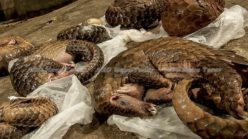 Chinese medicine, fake news, & Asean's role in pushing pangolins to the brink (video) *updated