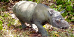 Urgent inter-government action needed to save Sumatran rhinoceros