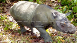 Urgent inter-government action needed to save Sumatran rhinoceros (video)