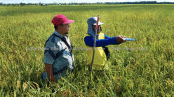 Improving Indonesia's rice production through improved data collection