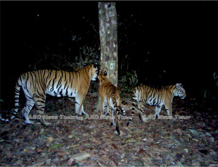 Three Indochinese tigers inspect a camera trap under a tree in Thailand's Dong Phayayen-Khao forest