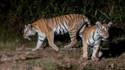Thailand tiger footage offers renewed hope for big cat population (video)